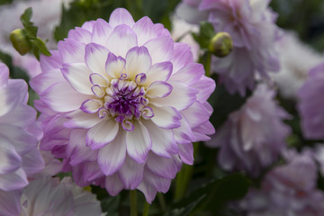 Close Up View of Sunlit Pale Purple and White Colored Dahlia Flower with Green Leaves and Similar Dahlias in Background