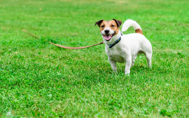 Jack Russell Terrier dog tethered with long line pet training lead
