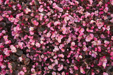 flower bed with pink begonia flowers