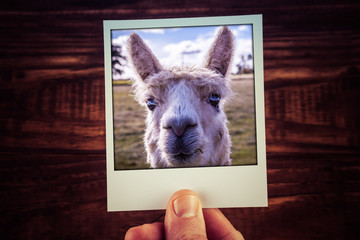 Hand holding photograph of funny alpaca closeup on wooden background