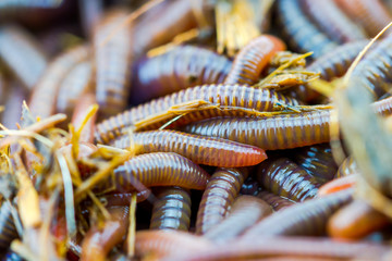 Close up earth worm african night crawler