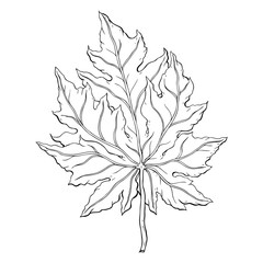 leaves. Hand Drawn Vector illustration. Outline leaves, isolated on white background. Hand drawn Monochrome realistic illustration