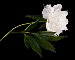 Peony flowers isolated on a black background. As an element of packaging design