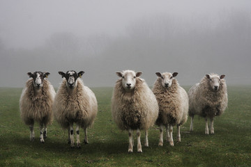 Five sheep lined up in a field on a misty day