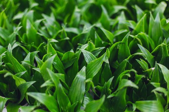 Texture green plant. Ornamental plant background. Natural leaves flora. Different green leaves of ornamental plants for background and texture. Dracaena janet craig