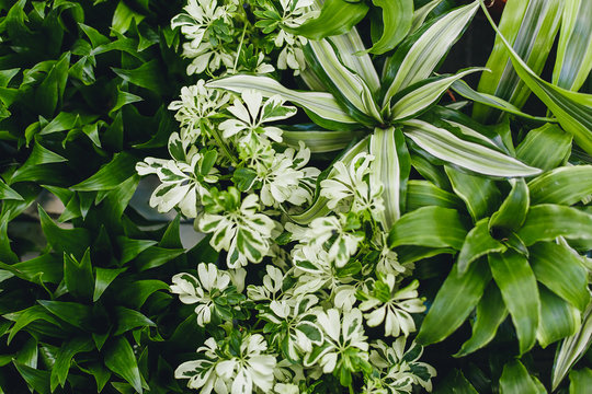 Texture green plant. Ornamental plant background. Natural leaves flora. Different green leaves of ornamental plants for background and texture. Mix Dracaena