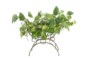 plant golden pothos