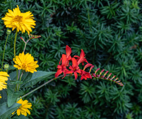 Color outdoor natural macro of a single isolated red montbretia / crocosmia stem with blossoms and buds on natural green and yellow blurred garden background