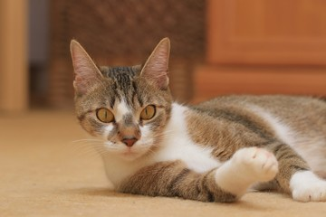 Funny colorful domestic cat with big eyes. Felis sivestris catus