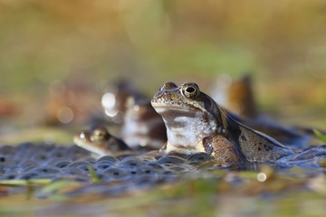 European common brown frog (Rana temporaria) massive mating, reproduction event in a pond. male resting on eggs carpet.