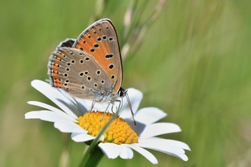 Butterfly Purple-edged copper sitting on the daisy flower (Lycaena hippothoe)