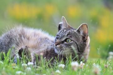 Beautiful tabby cat lying in the grass . Felis silvestris