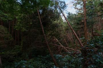 台風の強風で倒れたヒノキ