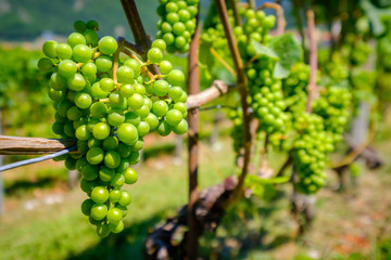Ripe white grapes at vineyard in Switzerland