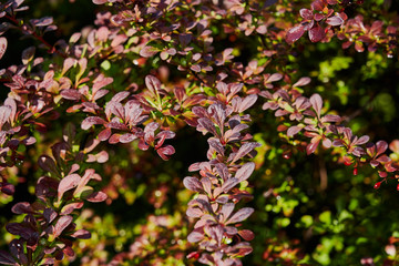 Red and green leaves of barberry Berberis thunbergii Atropurpurea. Beautiful colorful autumn background.