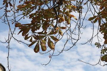 Welkende Kastanienblätter