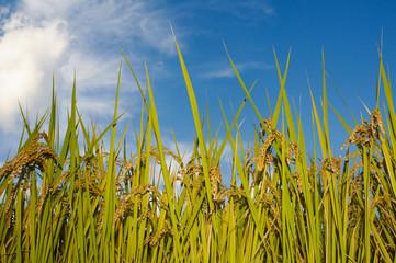 収穫期の稲穂