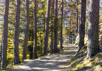 Wall Mural - fall forest with gravel road leading through an alley of trees in the mountains of the Swiss Alps in autumn