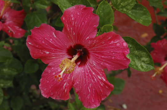 Hibiscus flower displaying the Petals, Style, Stigma, and Anthers prominently. Sepals of the Calyx (in the flower) are hidden behind the petals while they are seen nearby of a fallen flower.