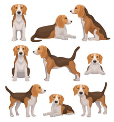Flat vector set of beagle dog in different poses. Small hunting dog with brown-white coat and long ears. Puppy with cute muzzle