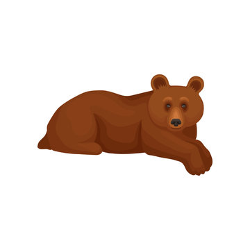 Cute big bear lying isolated on white background. Cartoon character of wild forest animal with brown fur. Flat vector icon