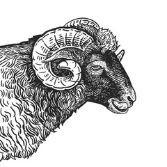 Realistic portrait of farm animal Ram. Vintage engraving. Black and white hand drawing. Vector