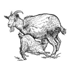 Goat and little goat. Farm animals. Isolated realistic handmade drawing.