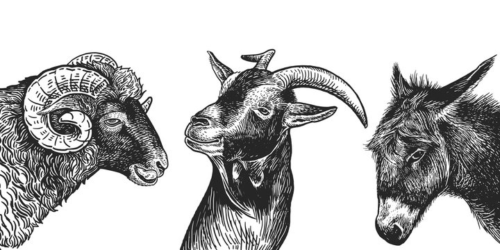 Set of realistic portraits of farm animals. Black and white hand drawing.