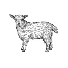 Lamb. Farm animal. Isolated realistic handmade drawing.