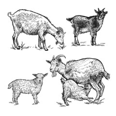 Goats, little goats and lamb. Farm animals set. Isolated realistic handmade drawing.
