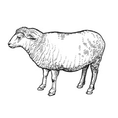 Sheep. Farm animal. Isolated realistic handmade drawing.