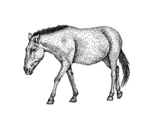 Horse sketch style. Hand drawn illustration of beautiful black and white animal. Line art drawing in vintage style. Realistic image.