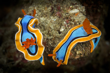 doris nudibranch sea slug