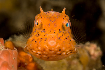 juvenile thornback cowfish fish