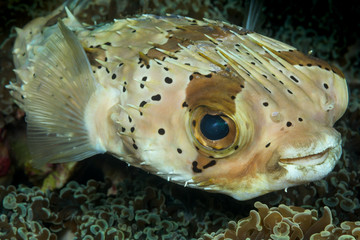 spotted burrfish fish