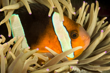 clark's anemonefish fish