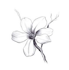 magnolia flower, pencil graphic artwork, black and white springflower for decoration and design