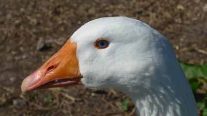 Portrait einer schönen weißen Gans, Nahaufnahme