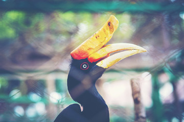 Rhinoceros Hornbill in cage
