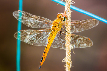 Dragonfly resting on a rope in garden