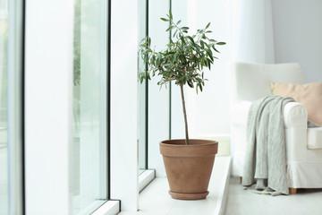 Foto op Aluminium Olijfboom Pot with olive tree in cozy interior