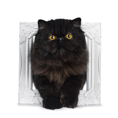 Excellent deep black Persian cat kitten standing through a white picture frame looking at lens with big round yellow eyes, isolated on a white background