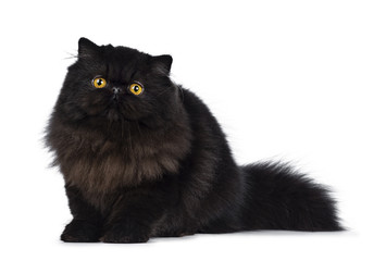 Excellent deep black Persian cat kitten sitting side ways looking beside camera with big round yellow eyes, isolated on a white background
