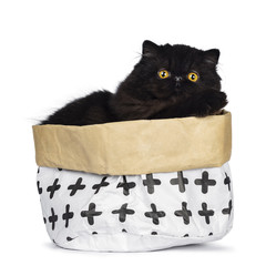 Excellent deep black Persian cat kitten sitting in a paper bag looking at lens with big round yellow eyes, isolated on a white background