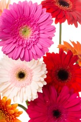 Closeup of Gerbera Daisies