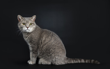 Wise looking senior British Shorthair cat, sitting side ways with head turned over shoulder, looking beside camera, isolated on black background
