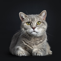 Wise looking senior British Shorthair cat, laying down front view, looking straight at camera, isolated on black background