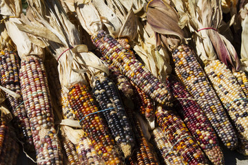 Rubber banded Indian Corn