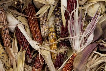 Multiple ears of Indian Corn