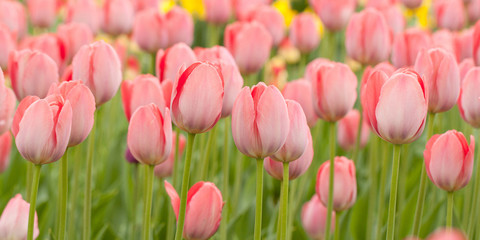 beautiful motley pink closed tulips adorn the park